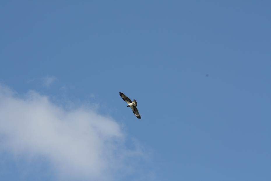 Fischadler über der Oder