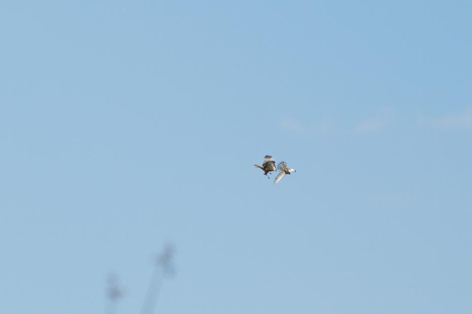 Rohrweihe jagd Turmfalken