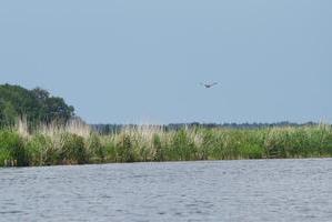 Rohrweihe über Flusslandschaft der Eider